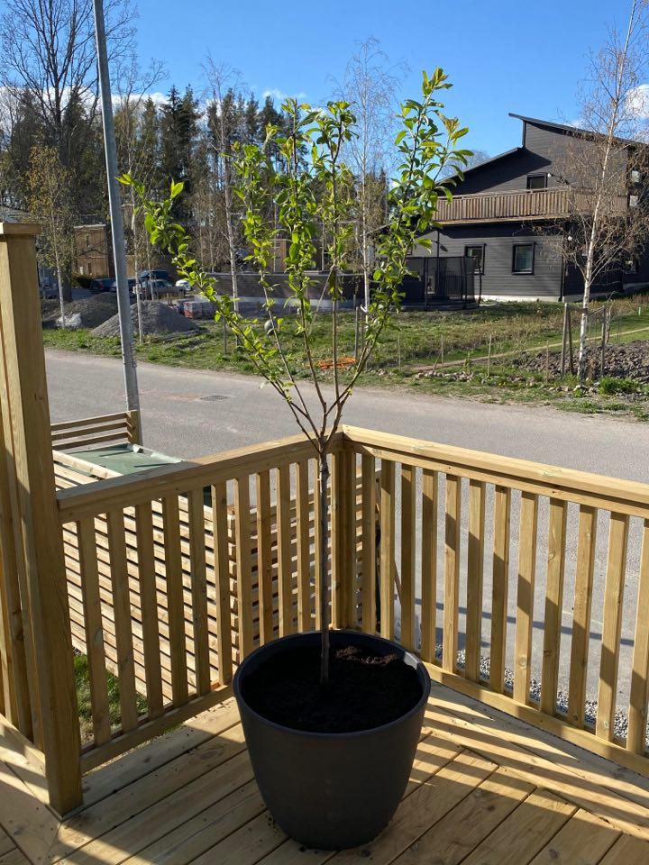 plommonträd i kruka