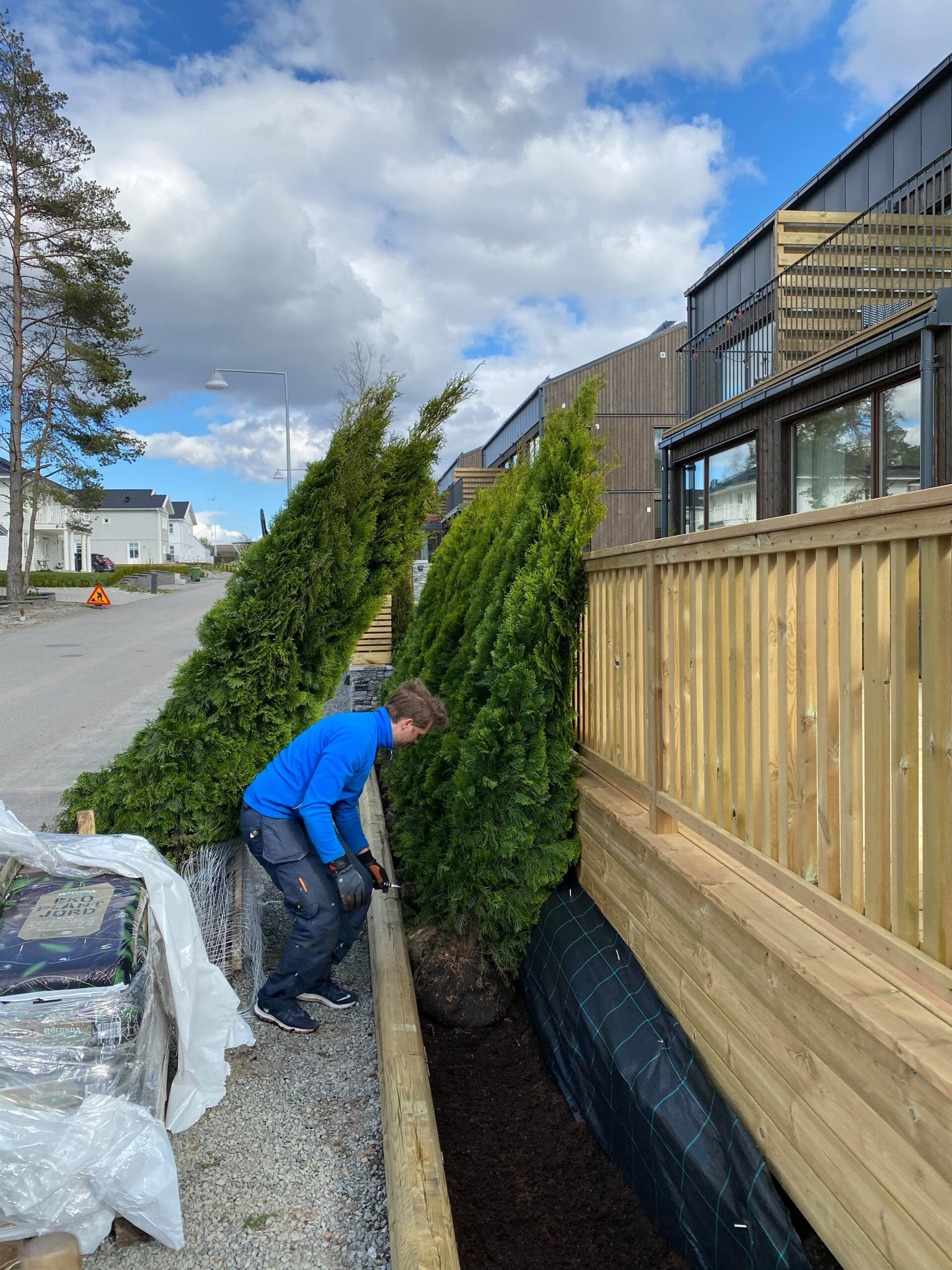 plantera thuijahäck