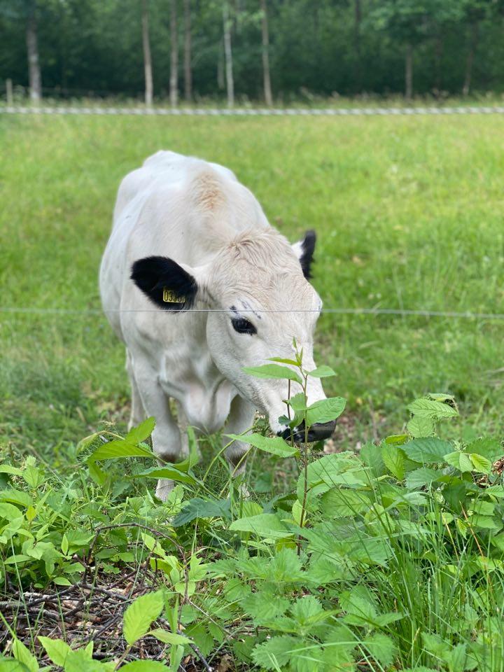 Vit ko